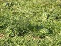 polje z lubenicami nedaleč stran od obale